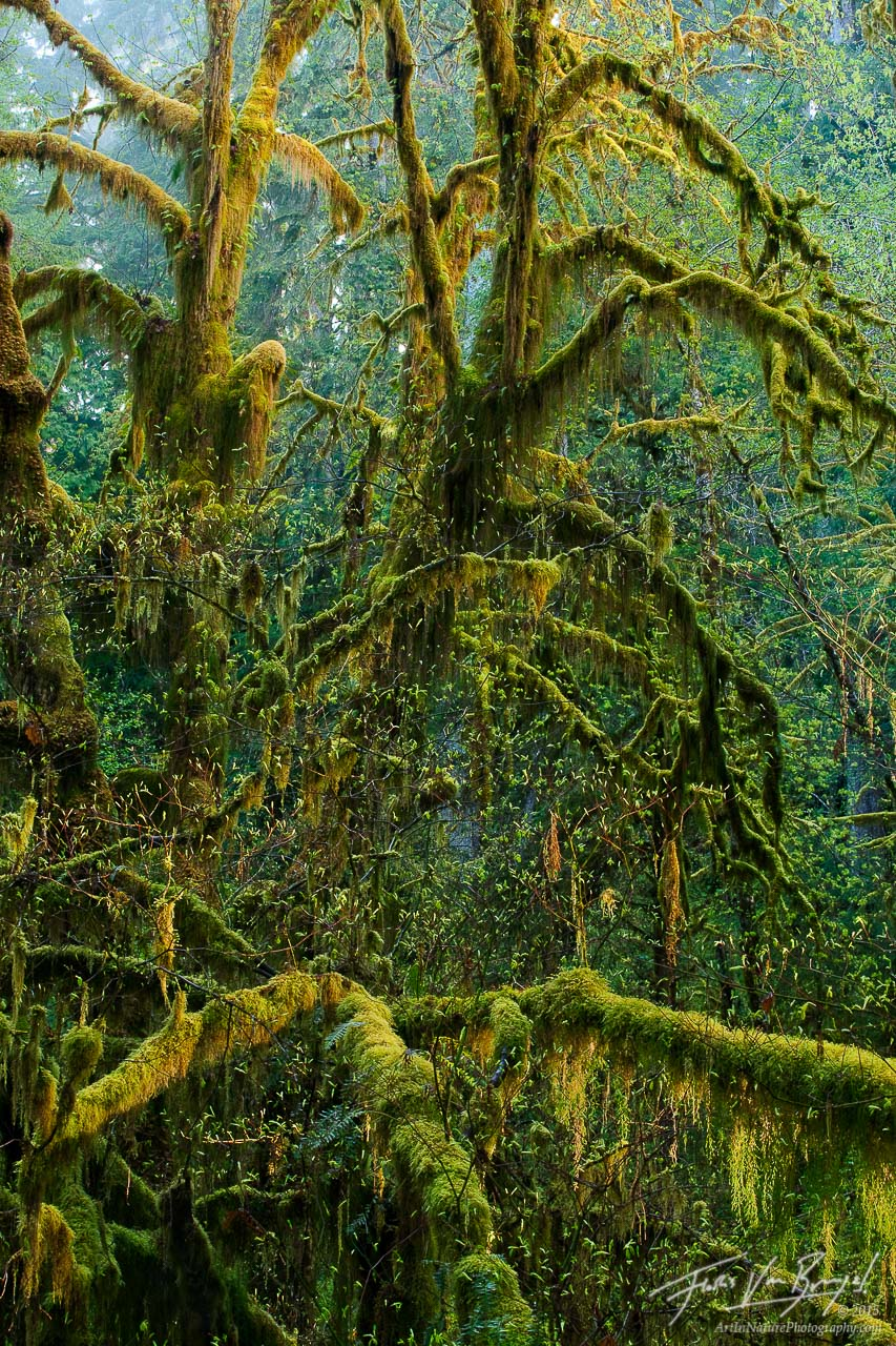 Mossy Maple Trees, Hoh Rainforest in Olympic National Park, Washington, spring, green, moss, photo