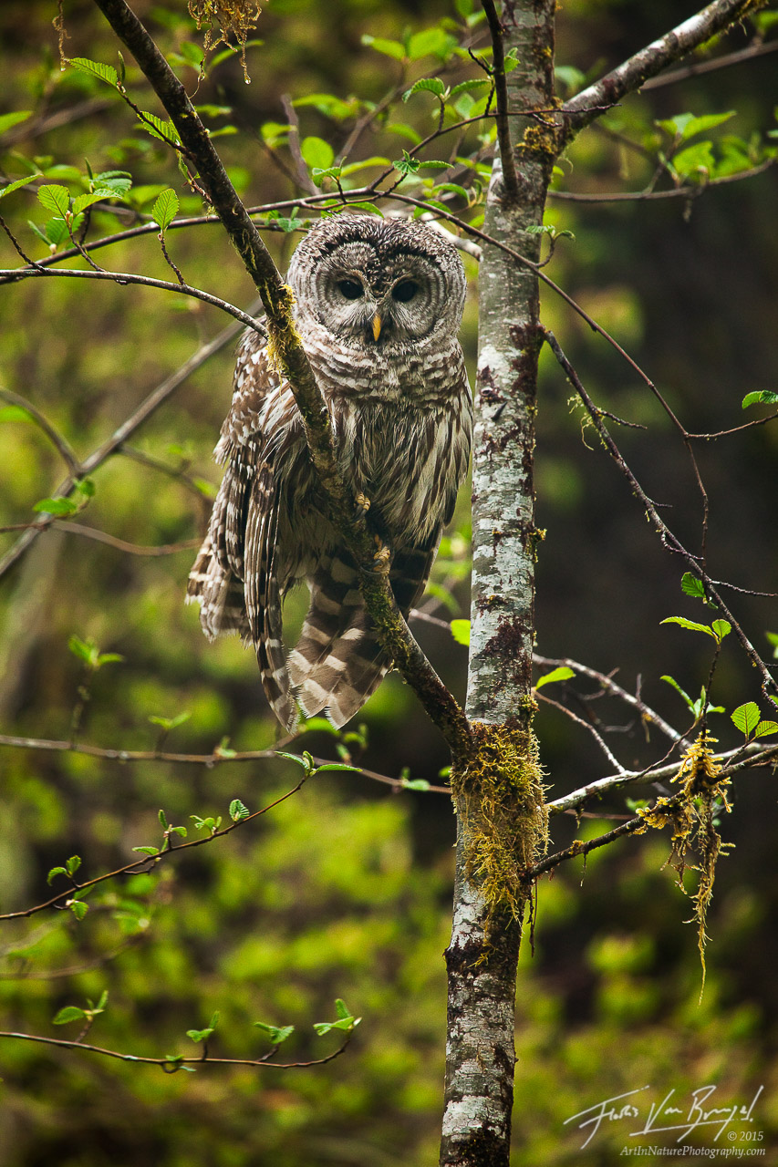 Barred Owl, Hoh Rainforest in Olympic National Park, Washington, , photo