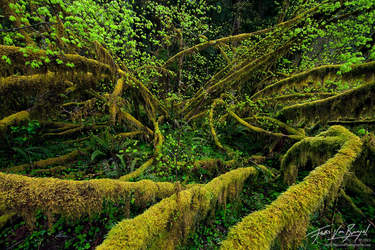 Moss, Hoh Rainforest in Olympic National Park, Washington, vine maples, photo