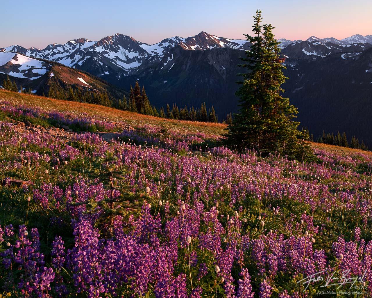 Summer Flowers, Hurricane Ridge, Olympic National Park, lupine, photo