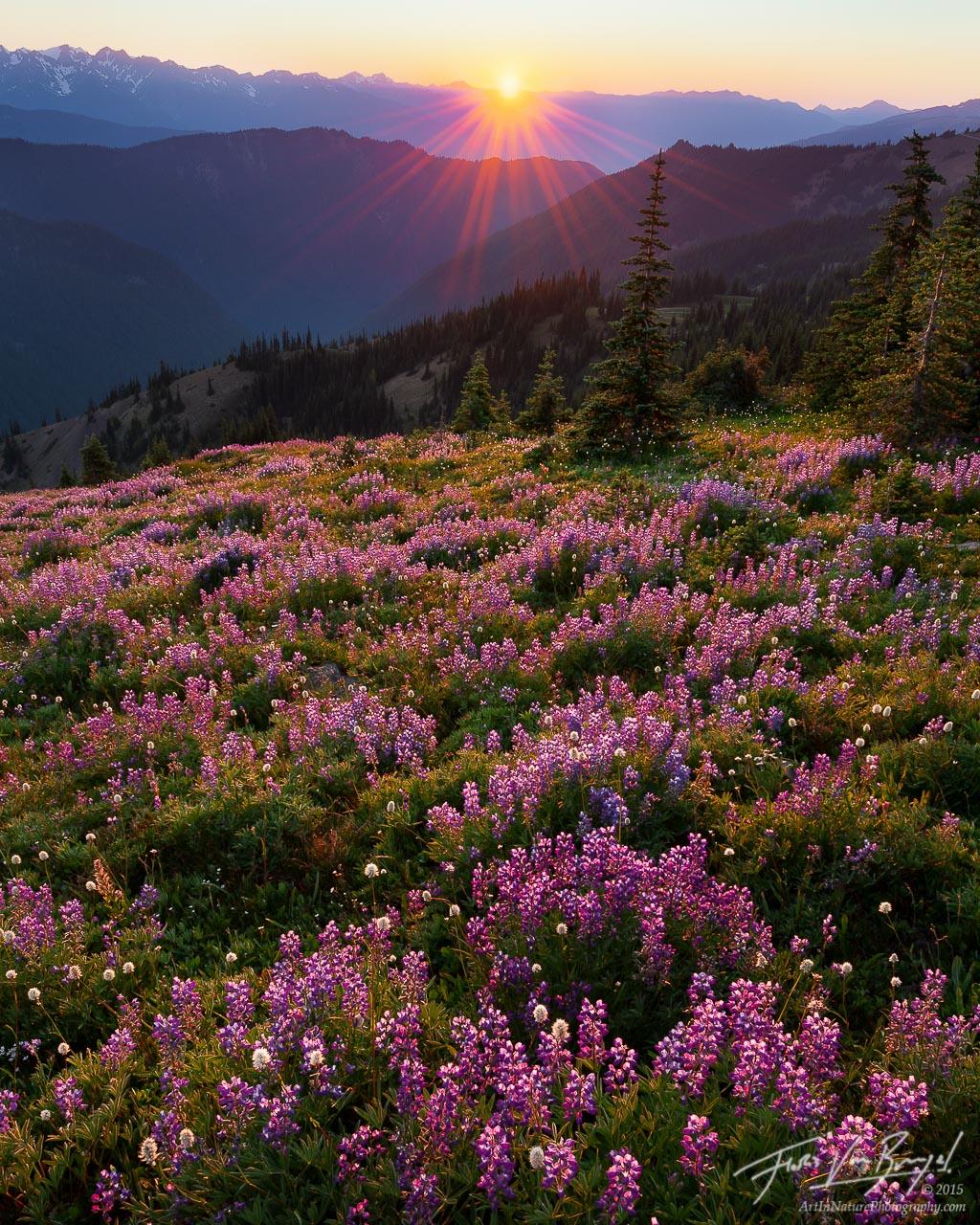 Alpine Flowers, Hurricane Ridge, Olympic National Park, sunset, photo