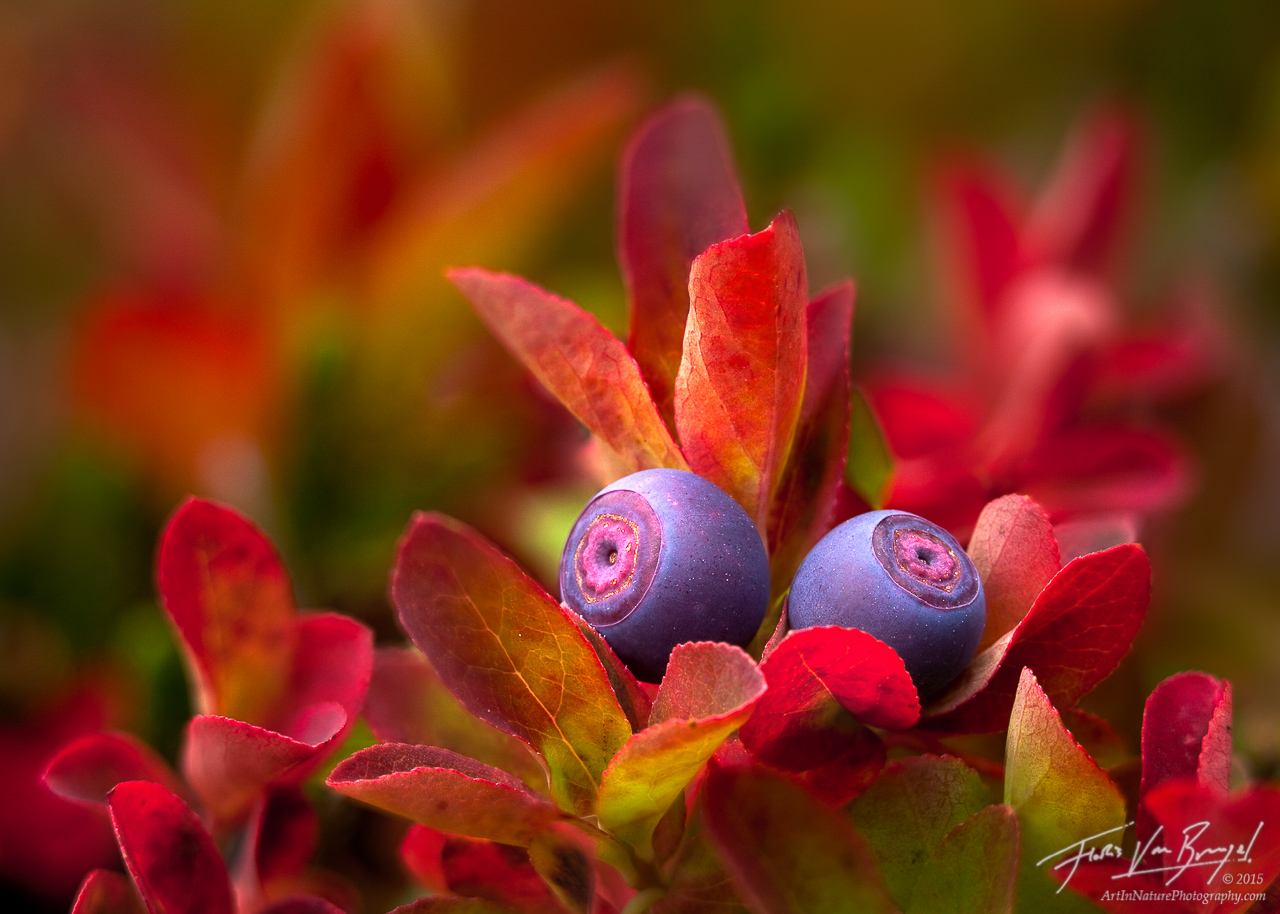 Cascade Bilberry (Blueberry), Mt. Rainier, Washington, photo