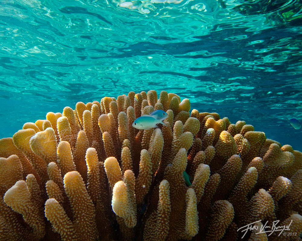 Tropical Chromis, Ofu, American Samoa, lagoon, coral, photo