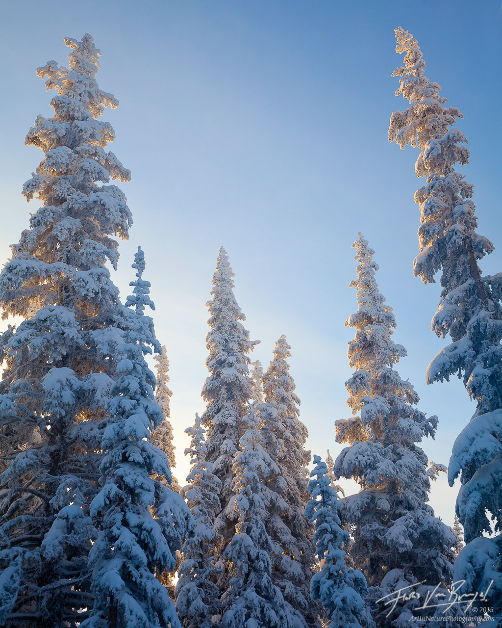 Frozen Trees, Hurricane Ridge, Olympic National Park, photo