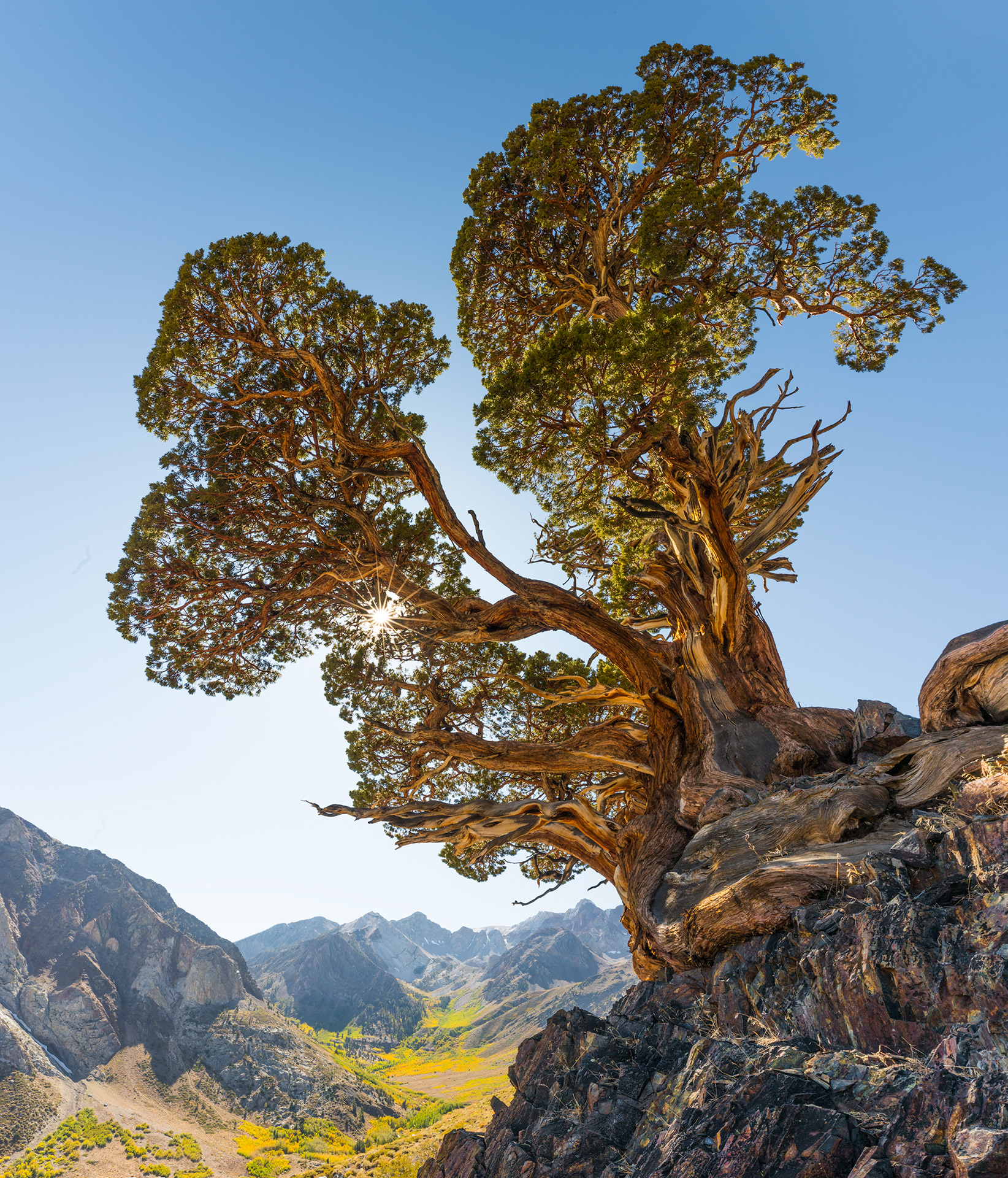 Juniper Tree, Sierra, Valley, photo