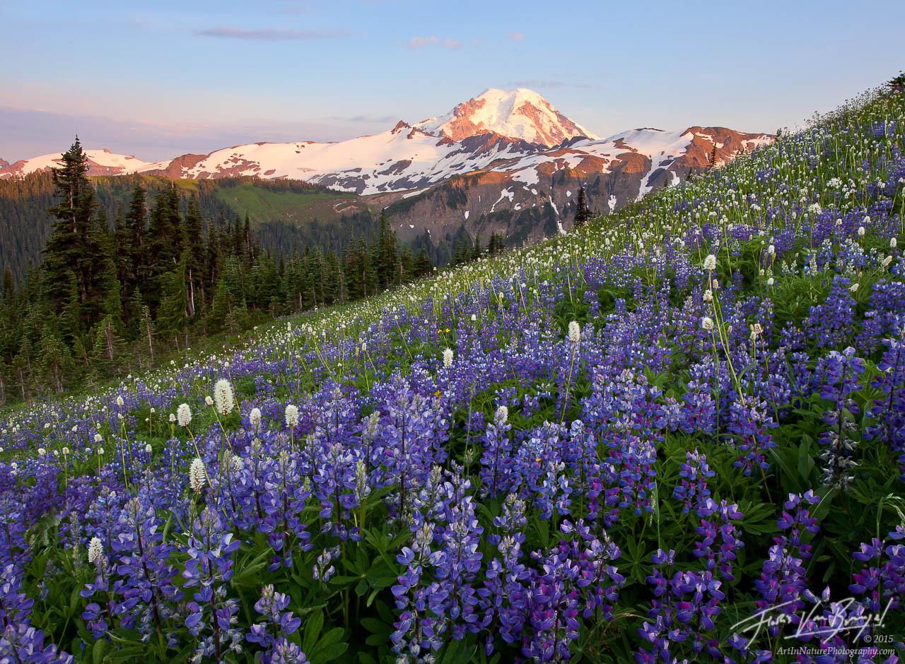 Mount Baker and Lupine, Cascades, Washington, photo