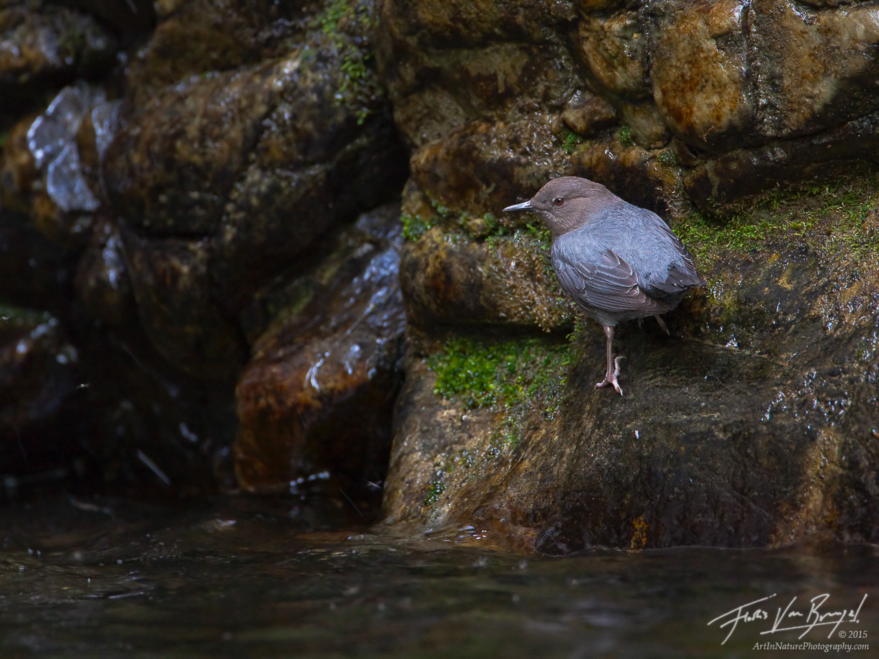 American Dipper in the San Gabriels, Cinclus mexicanus, California, photo