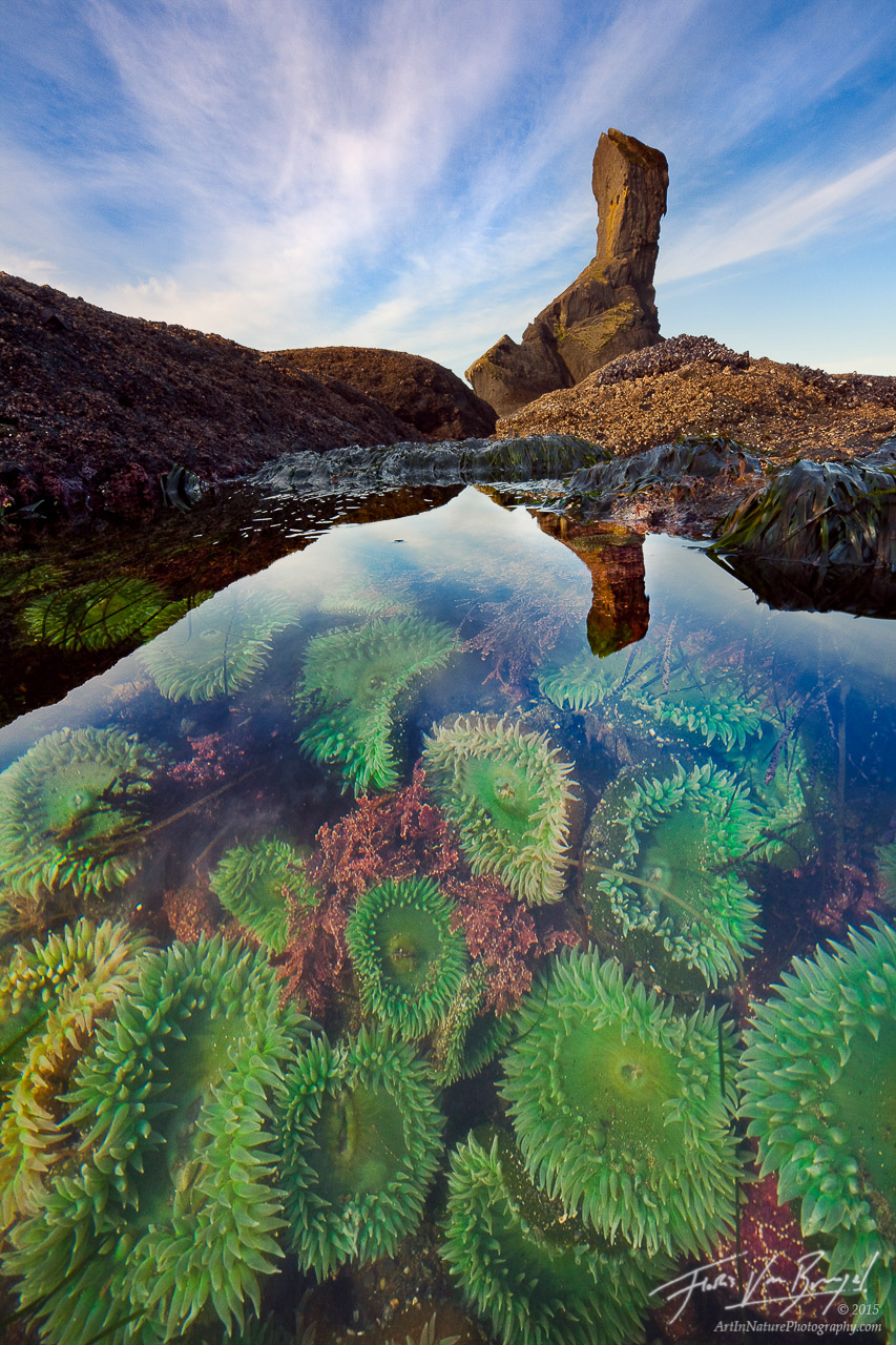 Anemones in Tide Pool, Olympic National Park, Washington, Tidal Secrets, sea anemones, low tide, coast, photo