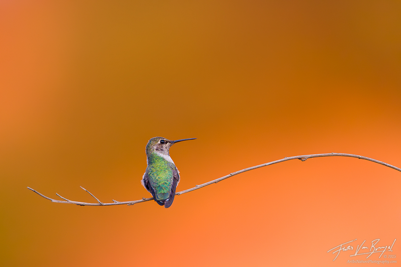 Anna's Hummingbird (Calypte anna), Eaton Canyon, California, san gabriel, , photo