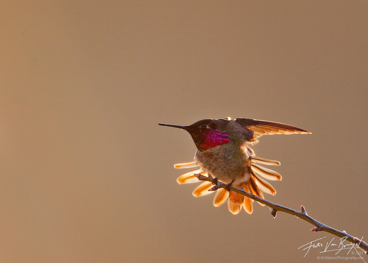 Anna's Hummingbird, Mt Diablo State Park, California, photo