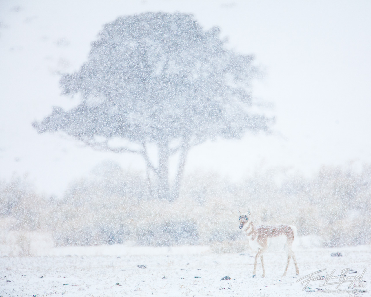 Pronghorn, Snowstorm, Yellowstone National Park, photo