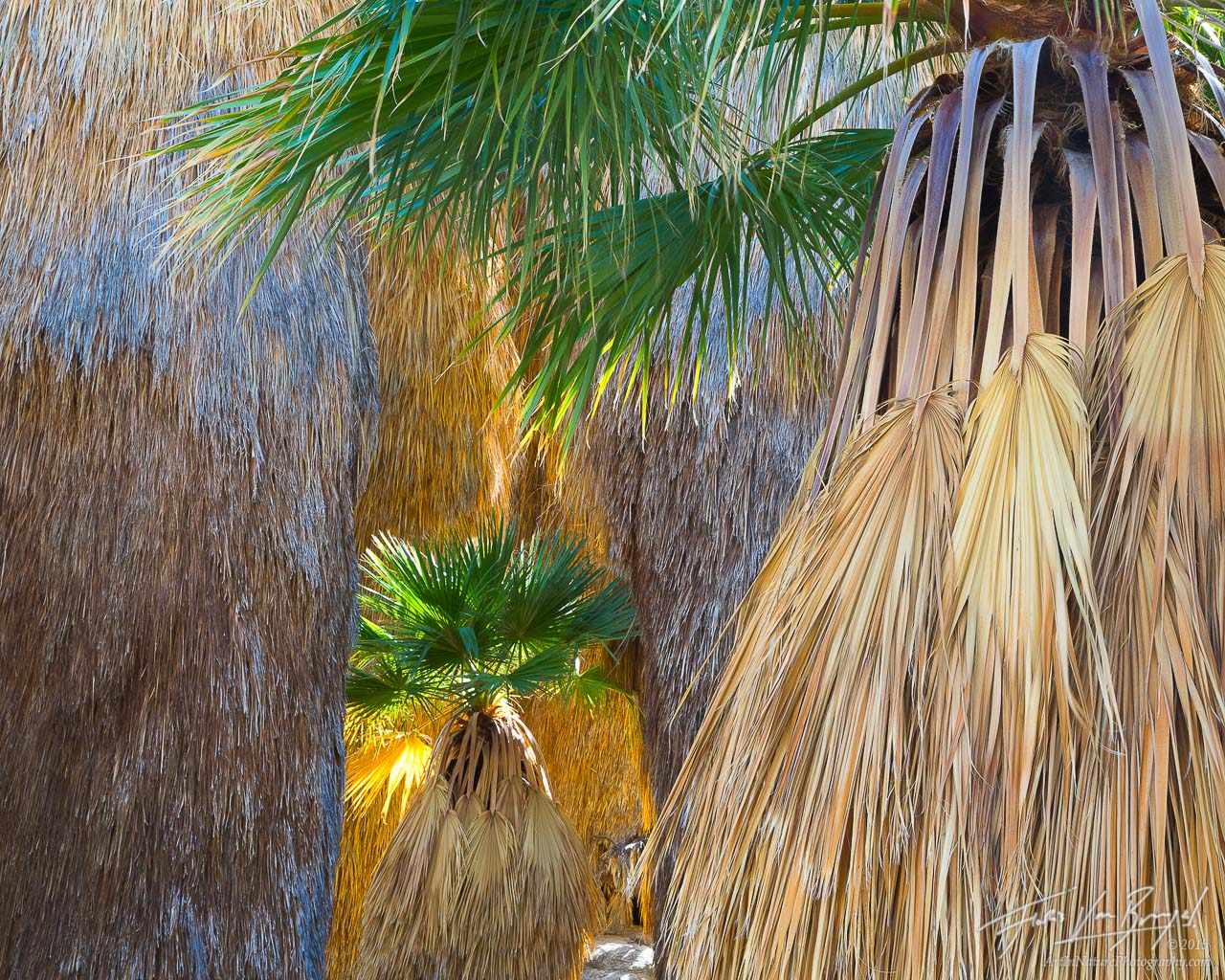 Bearded Palm Trees, Oasis, Anza-Borrego State Park, photo