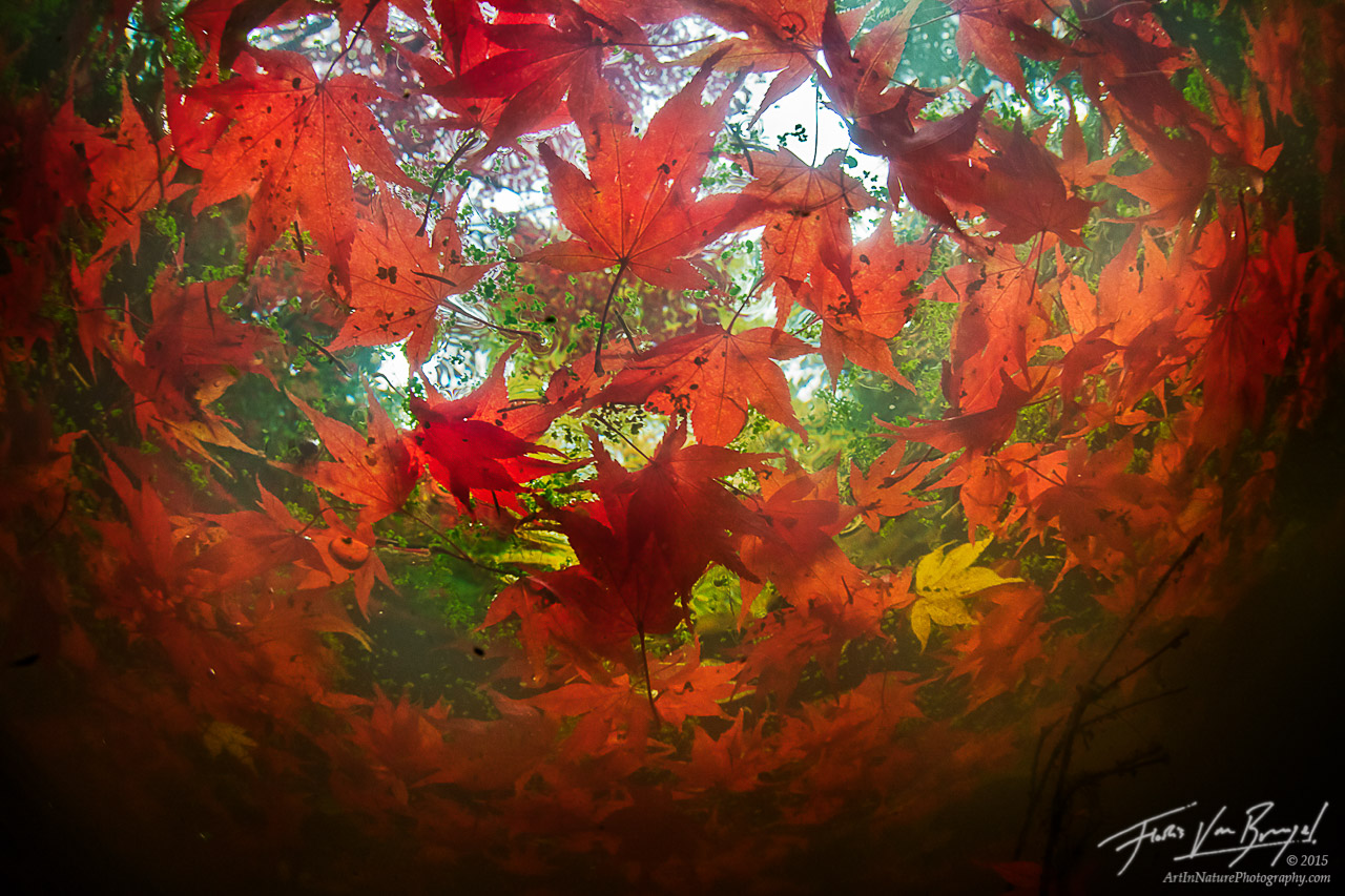 Unique Underwater Autumn Maple Leaves, Seattle Arboretum, Washington, photo
