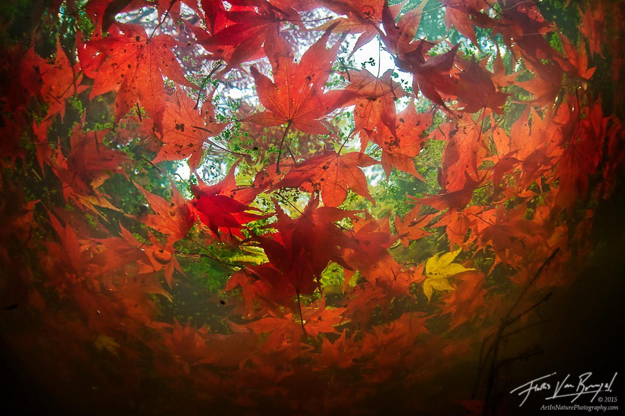 Unique Underwater Autumn Maple Leaves, Seattle Arboretum, Washington, photo