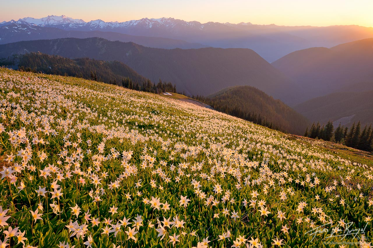 Avalanche Lilies, Olympic National Park, Washington, photo