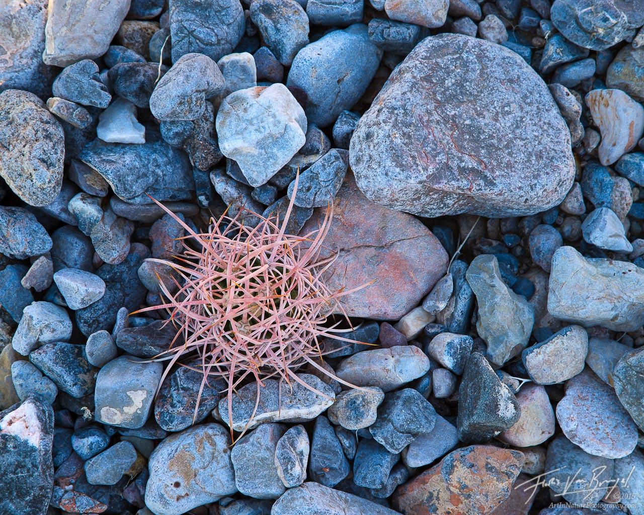 Barrel Cactus, Death Valley National Park, California , photo