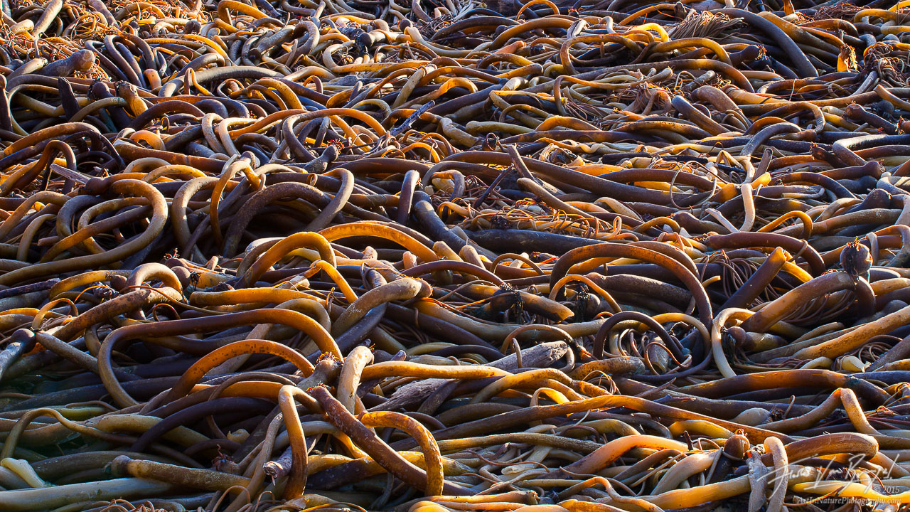 Beach Kelp, Mendocino, California, photo