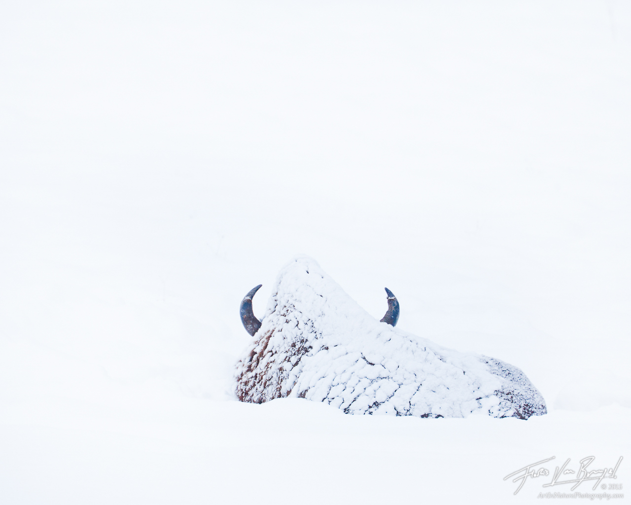 Bison in Snow, Lamar Valley, Yellowstone National Park, photo