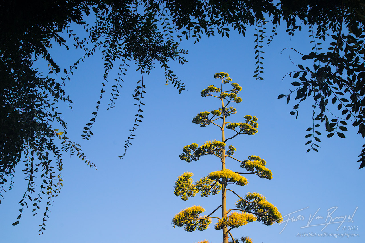 Blooming, Century plant, Agave americana, photo