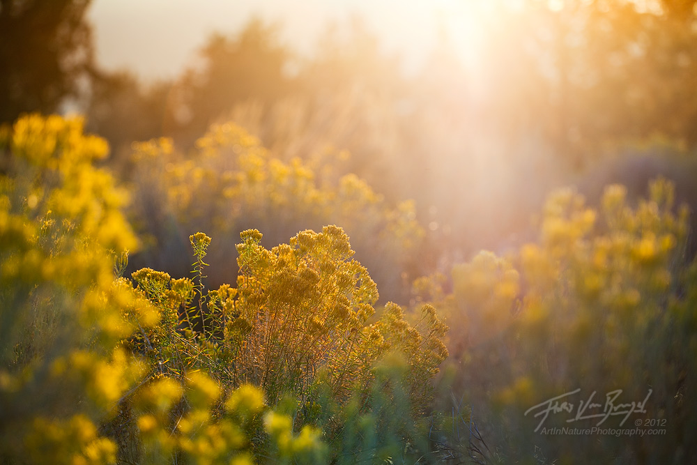 Blooming Rabbitbrush, High Deserts, Eastern Oregon, photo