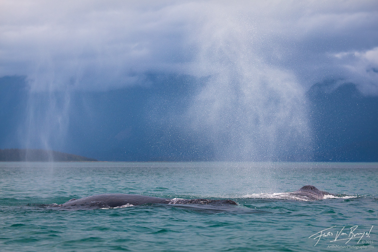 Breathing Humpback Whales, Glacier Bay, Alaska, photo