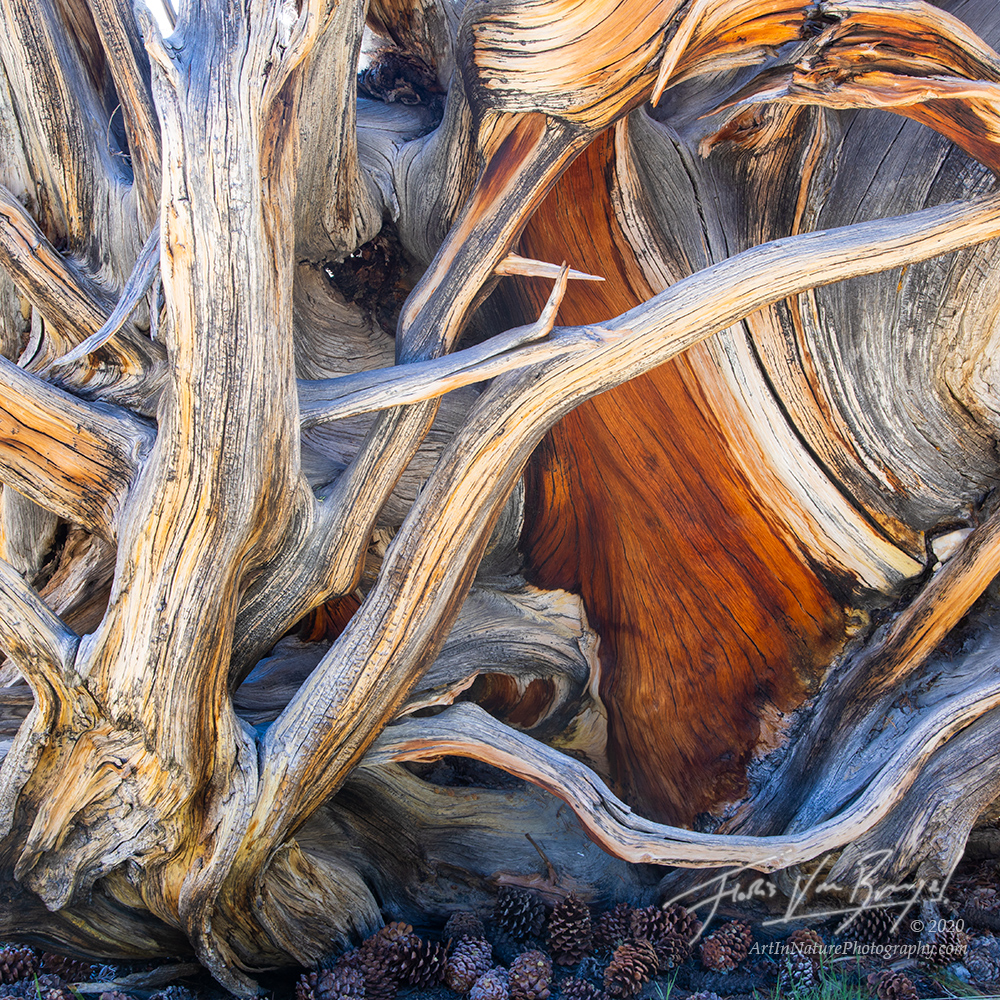 bristlecone pine, trees, abstracts, white mountains, california