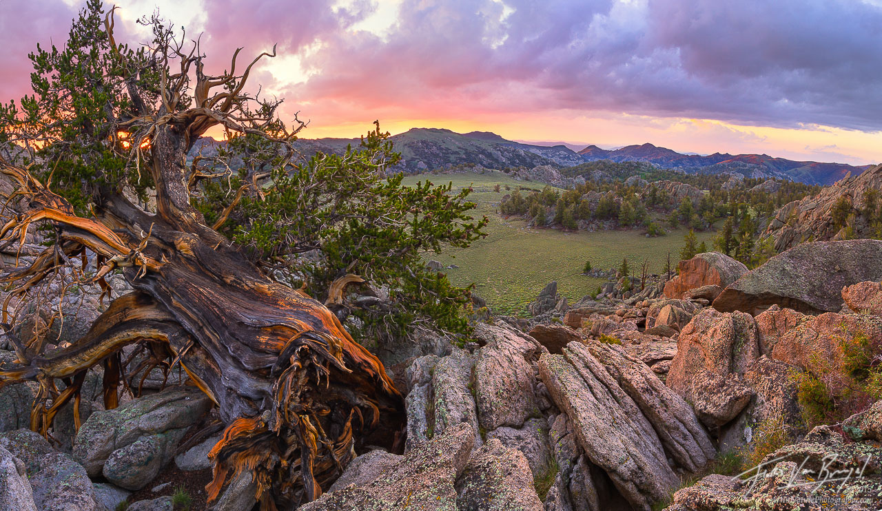 Bristlecone Pines, Sage Valley, White Mountains, photo