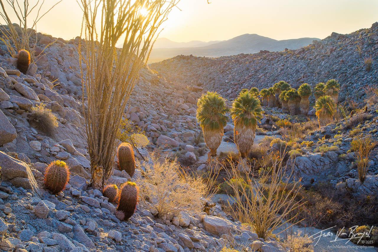 Cacti and Palm Oasis, Anza-Borrego State Park, California Desert, photo