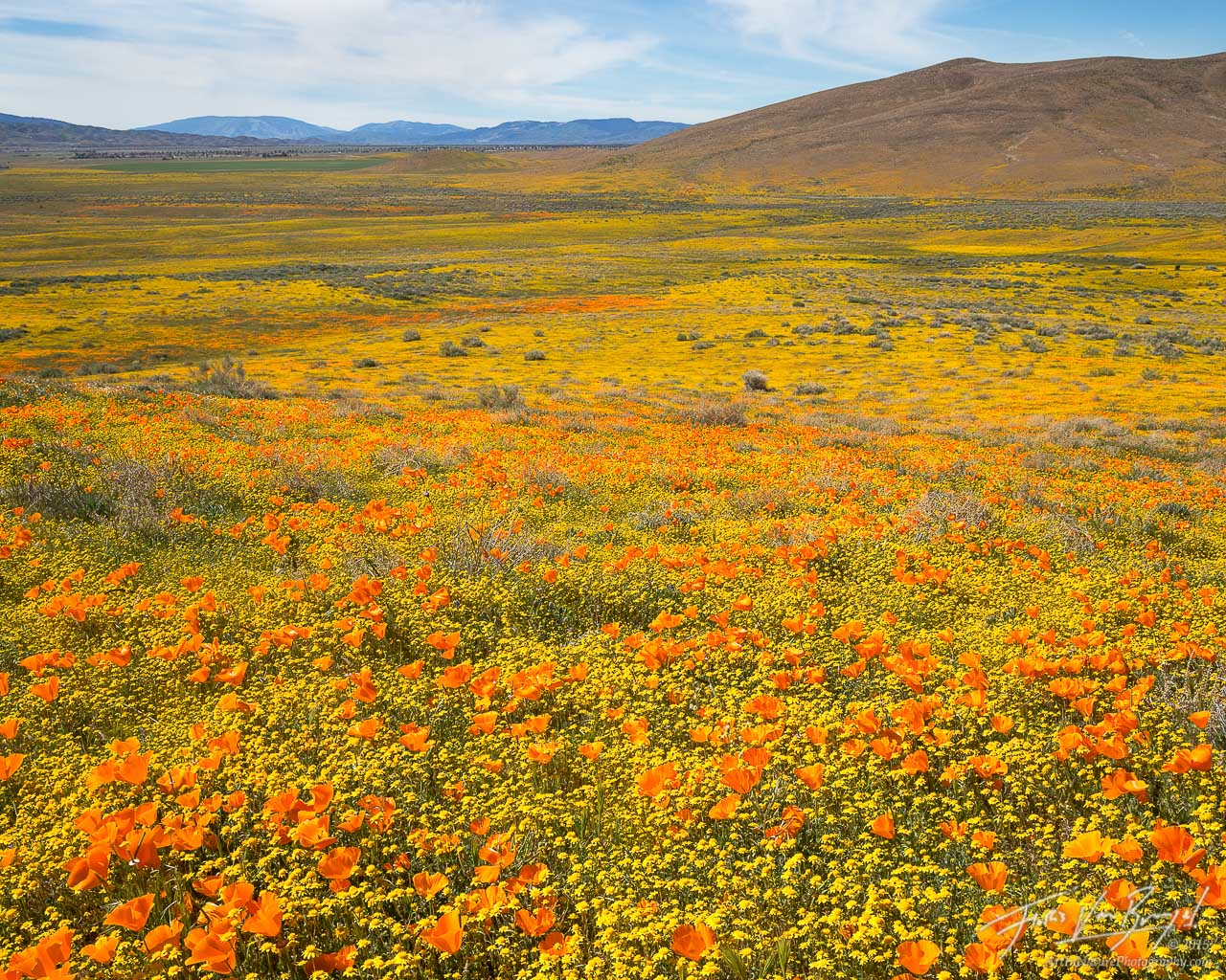 California Poppies and Goldfields, Antelope Valley, California, photo