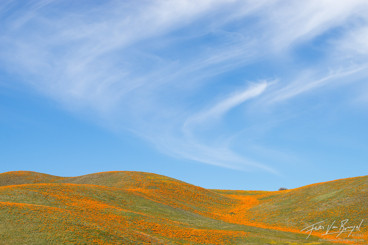 California Poppies, Antelope Valley, California, photo