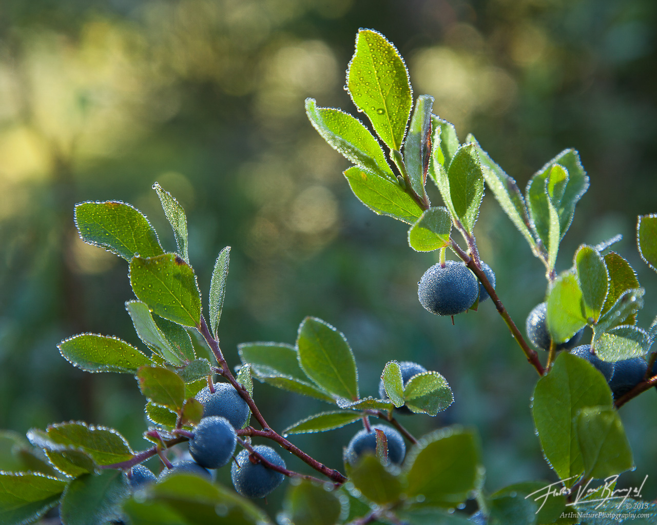 Cascade Bilberries, North Cascades, Washington, photo