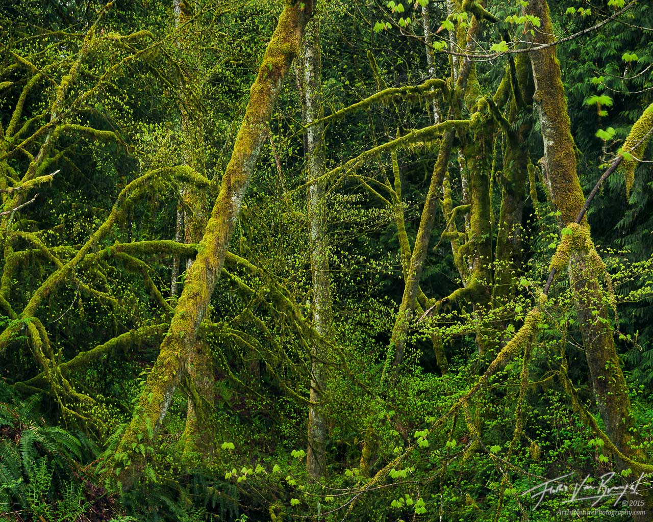 Spring Leaves and Mossy Trees, Snoqualmie National Forest, Washington, photo