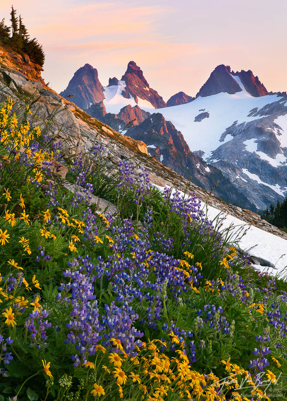 Alpine Wildflowers in the Cascades, Alpine Lakes Wilderness, Washington, photo