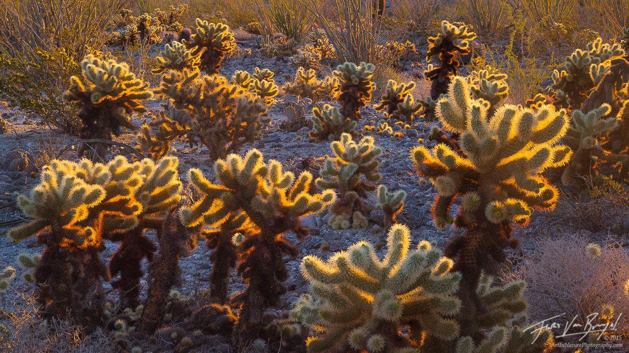 Cholla Cacti, Sunlight, Anza-Borrego, photo