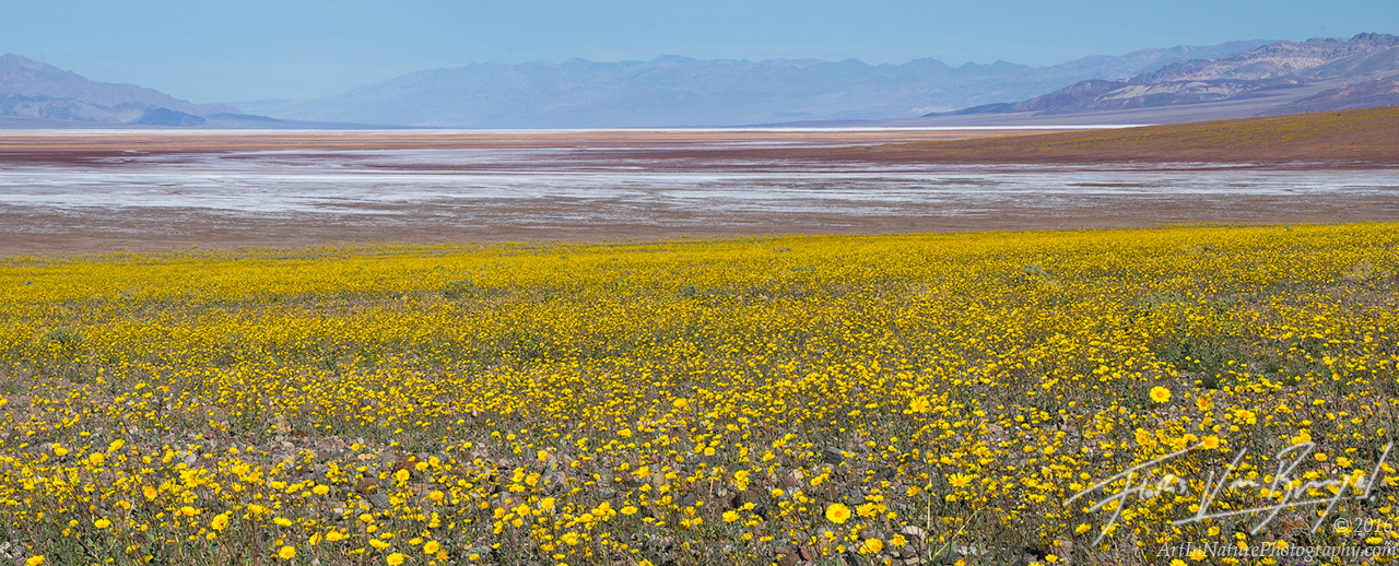 Desert Gold, Super Bloom, Death Valley , photo