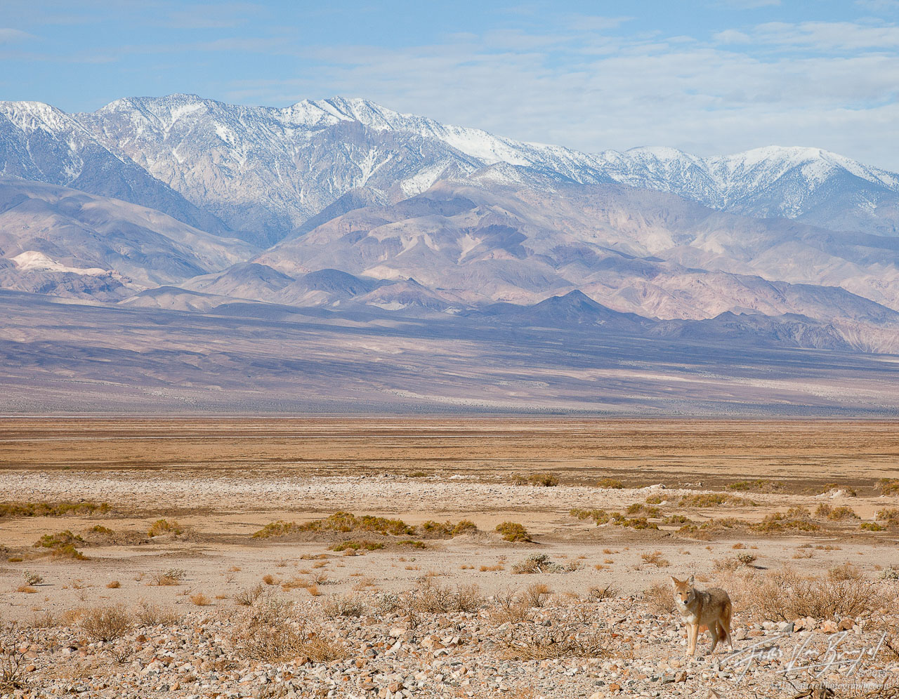 Coyote, Death Valley National Park, Telescope Peak, photo