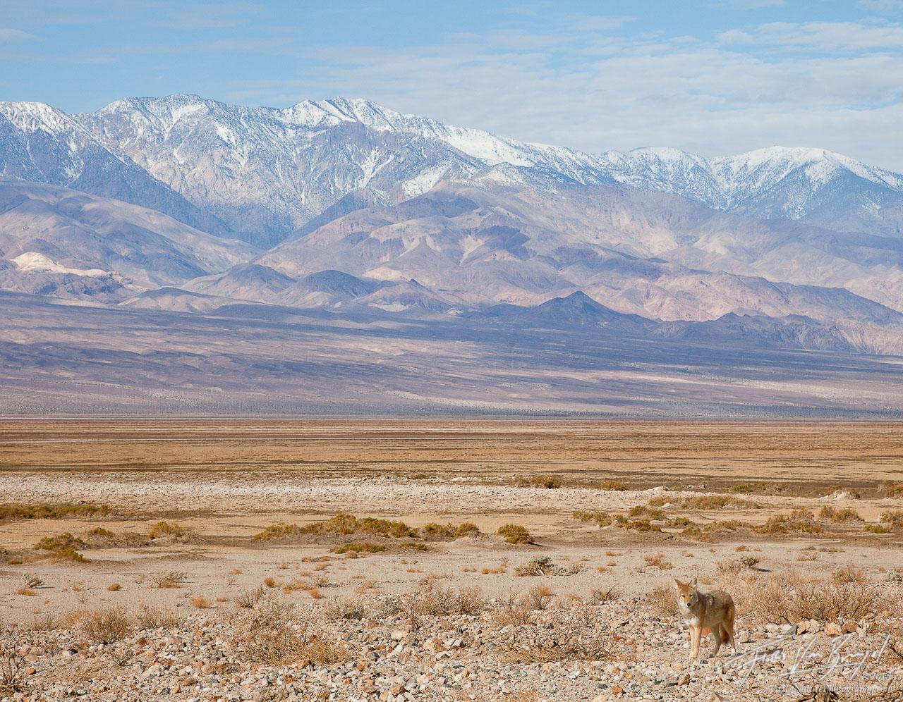 Coyote, Death Valley National Park, Telescope Peak, photo