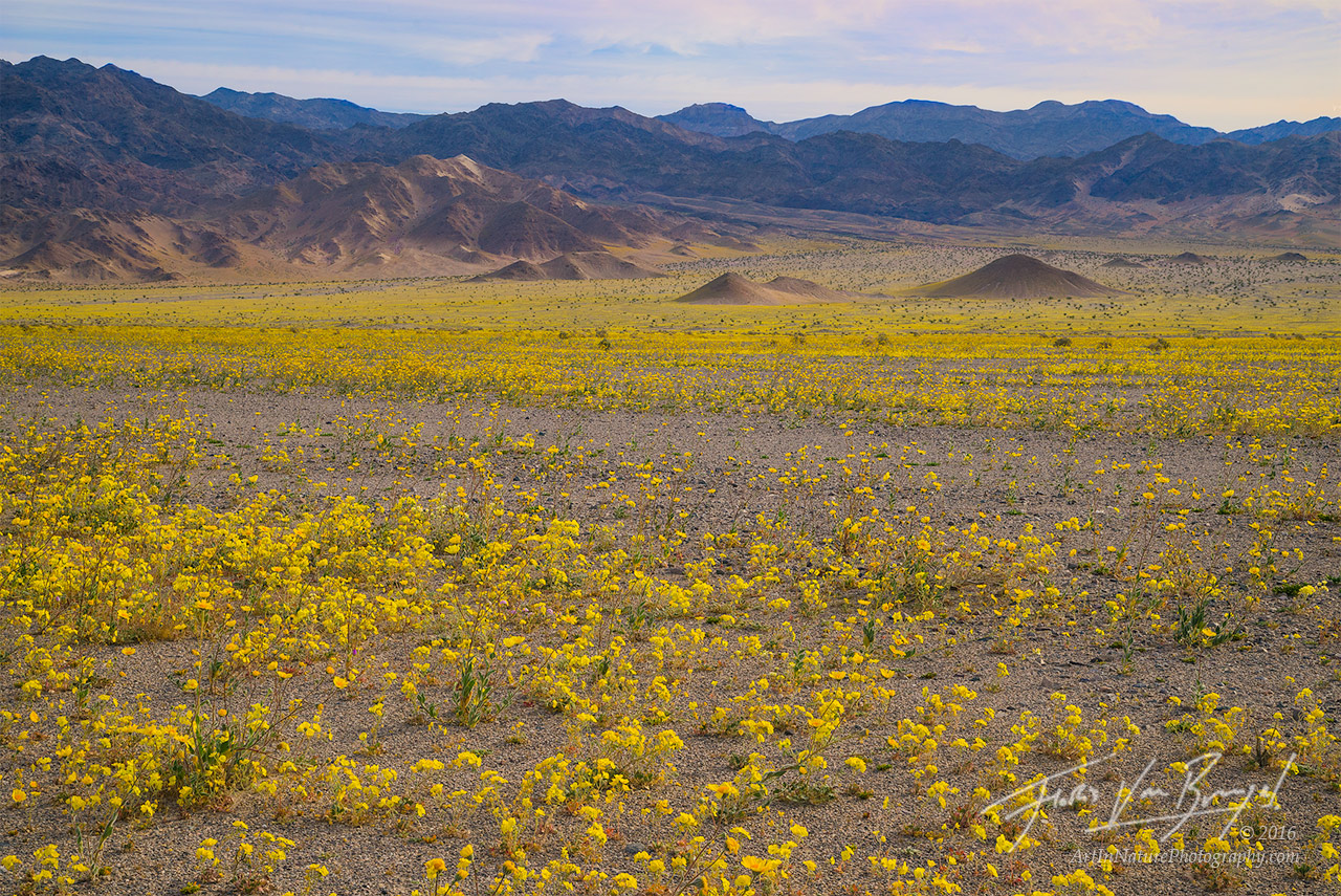 Evening-Primrose, Super Bloom, Death Valley National Park, photo