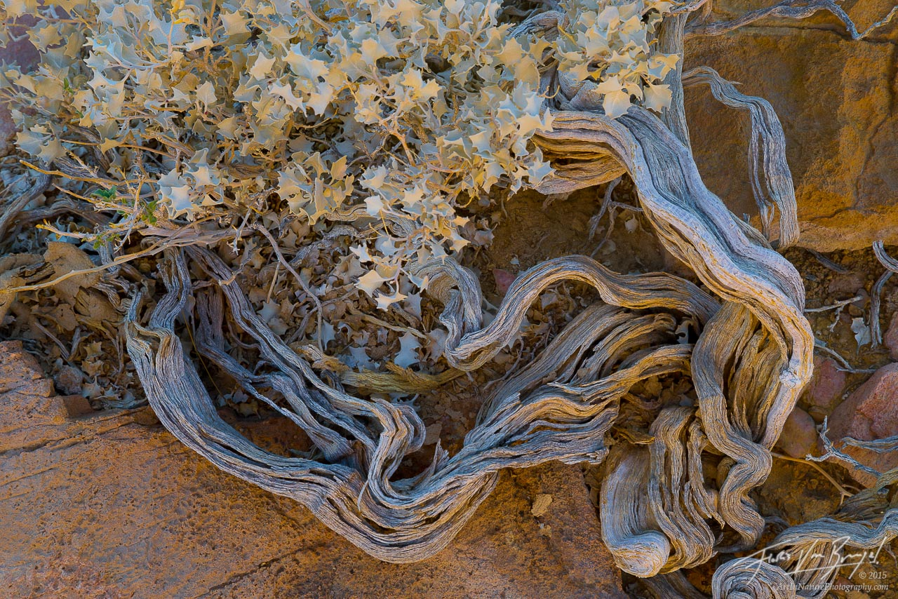 Desert Holly, Death Valley National Park, California, photo