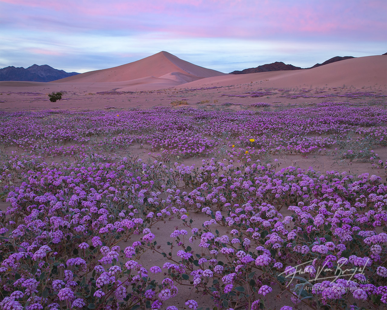 Sand Verbena and Dunes, Super Bloom, Death Valley National Park, photo