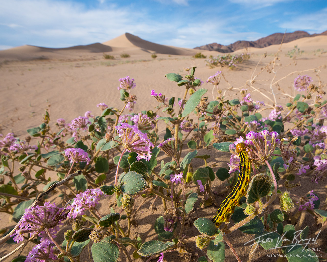 Caterpillar, Flowers, Death Valley National Park, photo