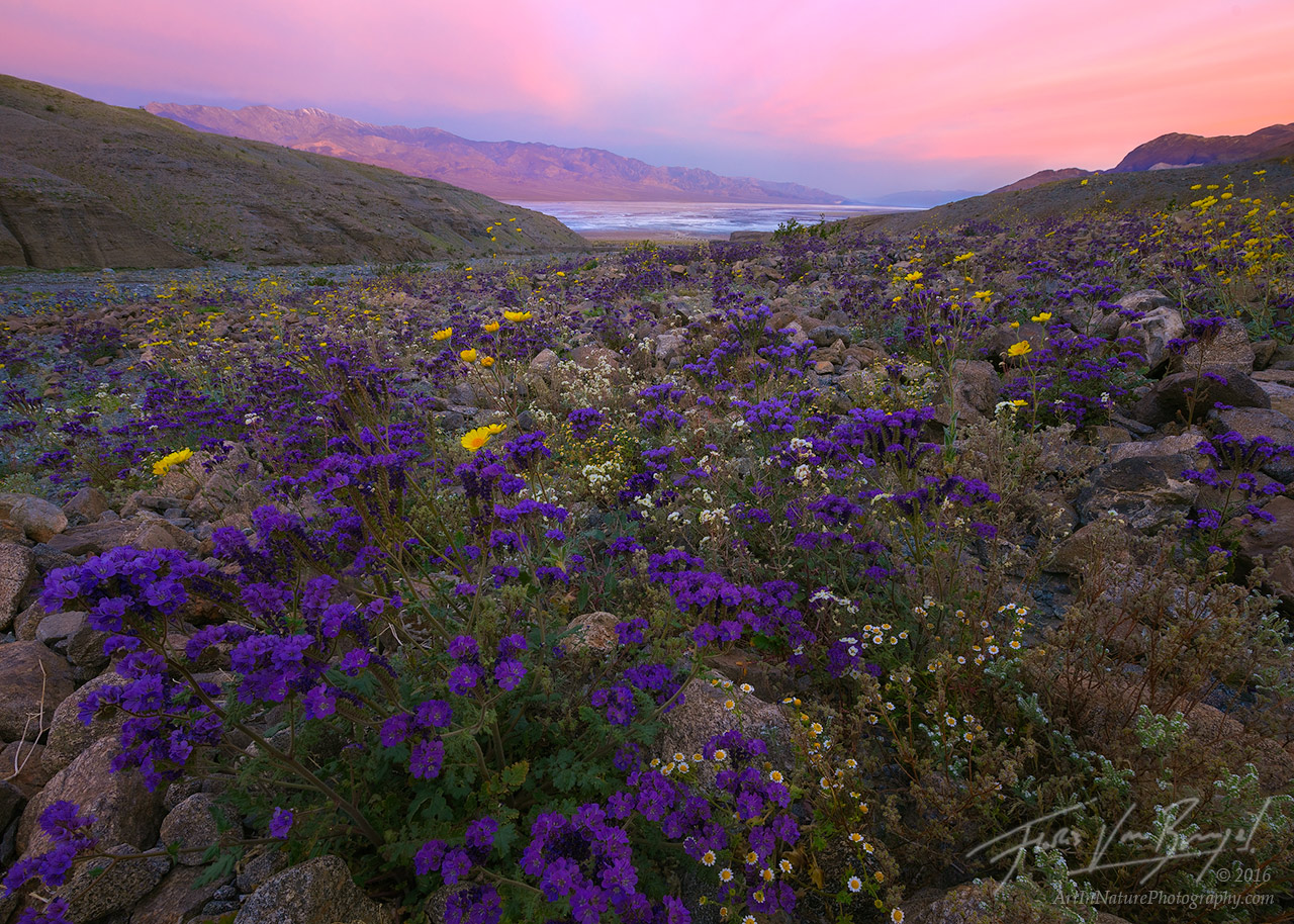 Phacelia, Super Bloom, Death Valley National Park, photo