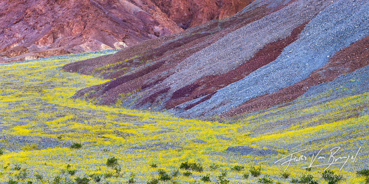 Desert Gold in Alluvial Fan, Super Bloom, Death Valley National Park, photo