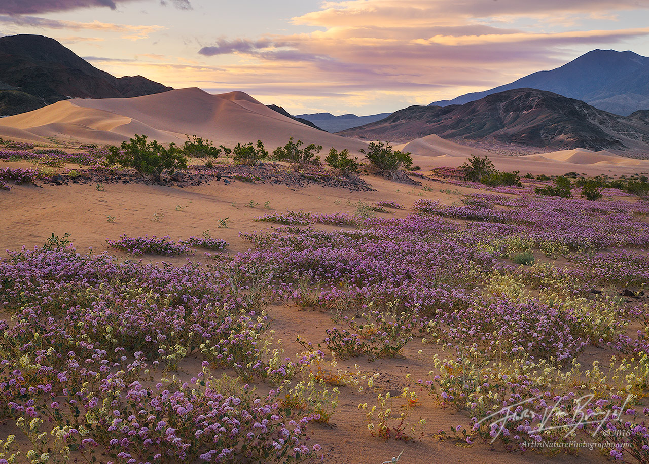 Blooming sands death valley np ca art in nature photography sand verbena and dunes super bloom death valley national park photo mightylinksfo