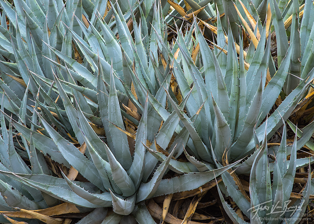 Desert Agave, Anza-Borrego State Park, California Desert, photo