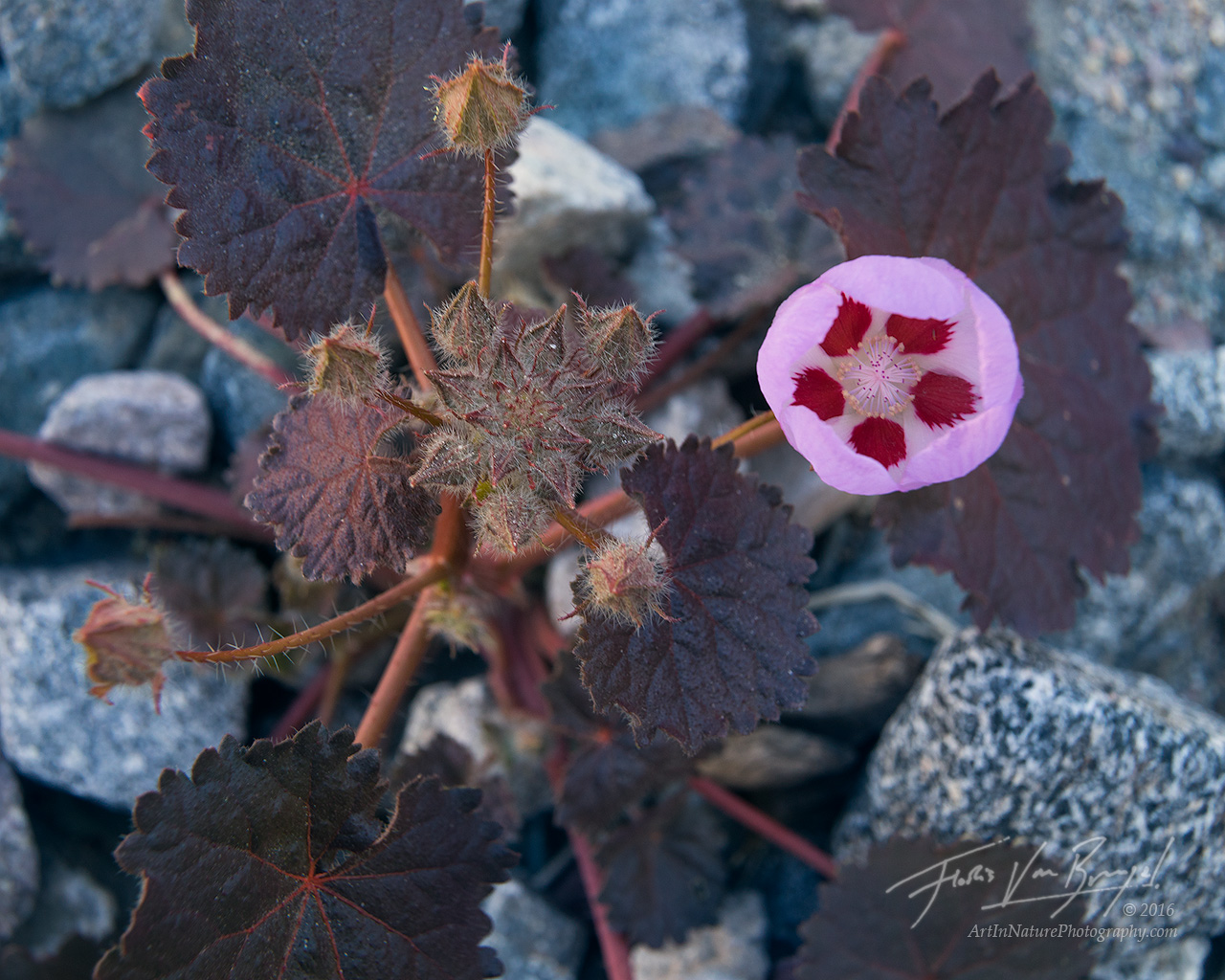 Desert Five Spot, Super Bloom, Death Valley National Park, photo