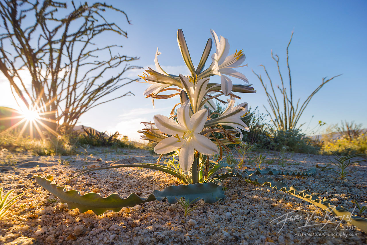 Desert Lily, Anza-Borrego, Spring, photo