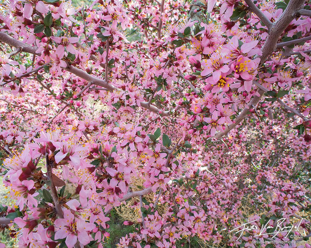 flowers, desert, spring, desert peach, nevada