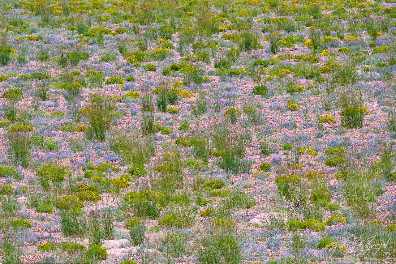 Flowers, Mono Basin, California, photo