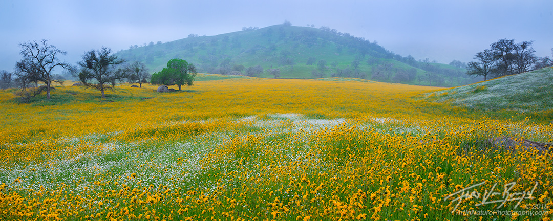 Fiddleneck, Flowers, California, photo
